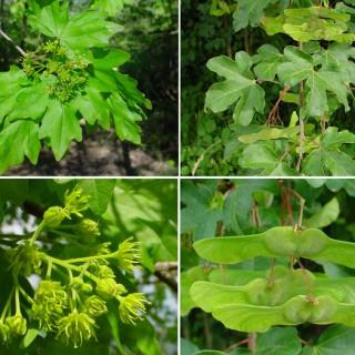 http://www.floracatalana.net/acer-campestre-l-